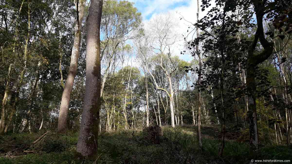 'Wonderful' trees to be felled at Herefordshire beauty spot