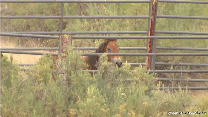 Wild Horses Being Rounded Up In Moffat County