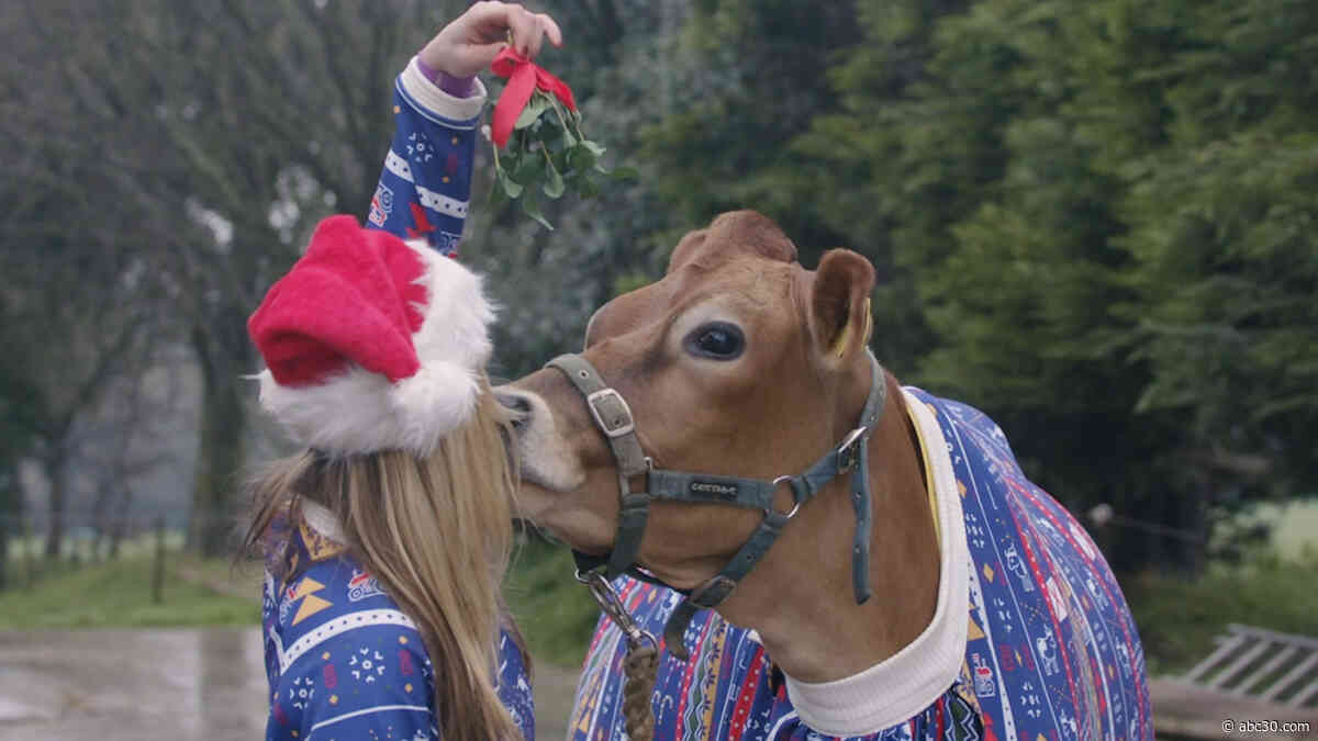 Dairy Christmas! Cows model festive holiday sweaters
