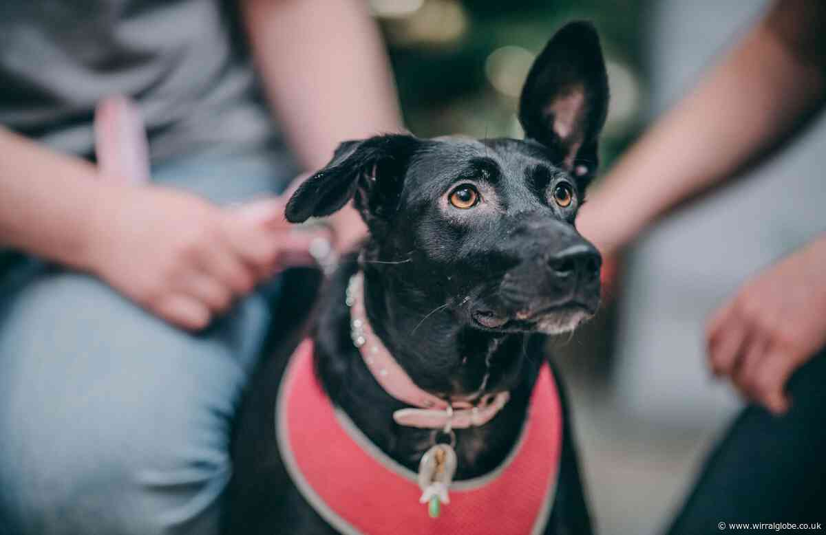 Rescue dog with no tail and sticky up ear face of Christmas campaign