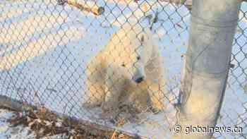Season of Giving: Polar Bear Rescue & Care Program