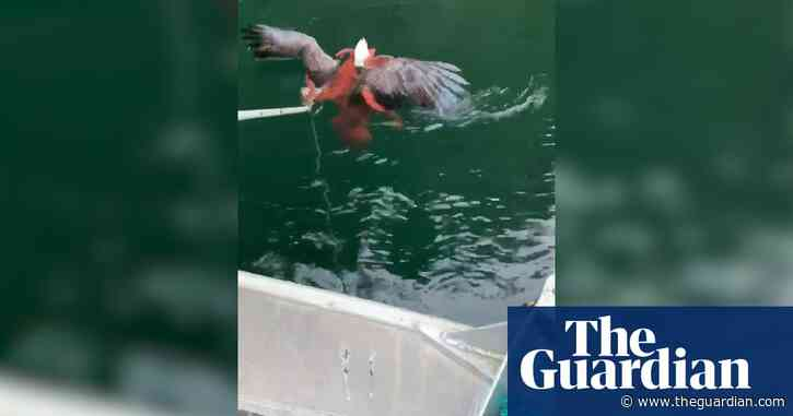 Eagle v octopus: Canadians rescue bird locked in battle with giant mollusc