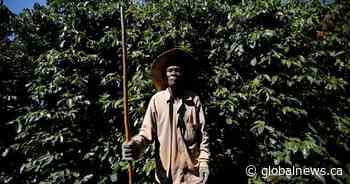 Some of your coffee is picked by slaves: investigation