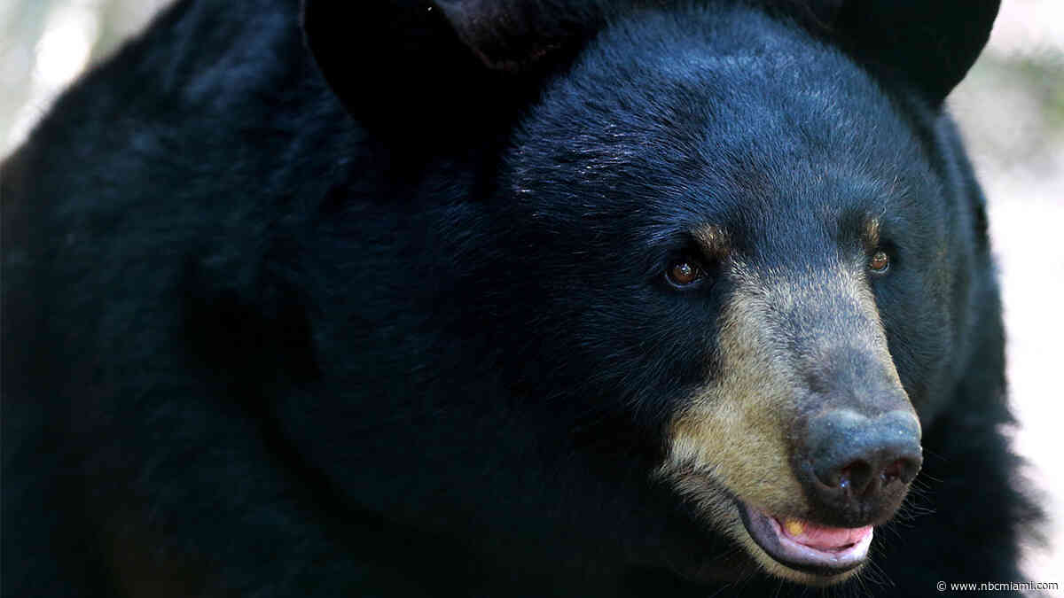 Black Bears in Florida to Remain Off Limits to Hunters