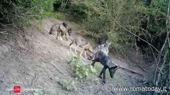 Tenuta di Castel di Guido: i bracconieri minacciano il branco di lupi