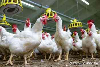 Vlaamse veehouder dupe van Nederlandse stikstofproblemen