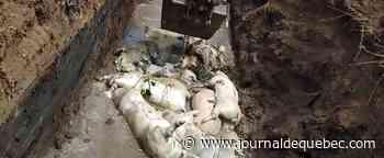 Indonésie: la peste porcine tue plus de 27 000 porcs