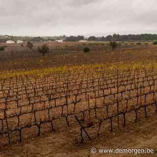 Spaanse wijnbouwbedrijven zien hun oogst krimpen door klimaatveranderingen