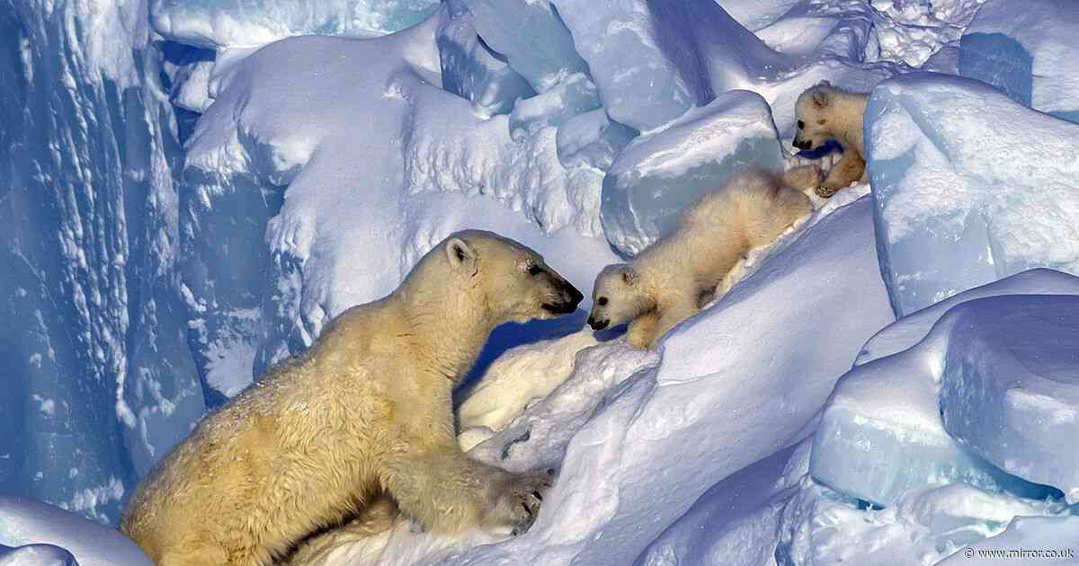 Jaw-dropping snaps of Polar bear protecting cubs captured by British snapper