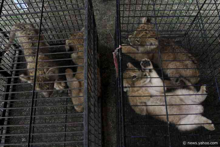 Indonesia nabs 2 suspected smugglers of leopard, lion cubs