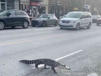 Why did the alligator cross a Montreal road?