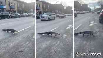 Escaped alligator spotted crossing the street in Montreal's Villeray neighbourhood