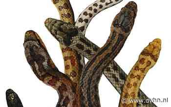 De gladde slang, de minst bekende slang van Drenthe