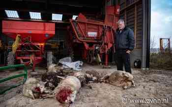 Weer schapen doodgebeten: maatregelen wolf te weren