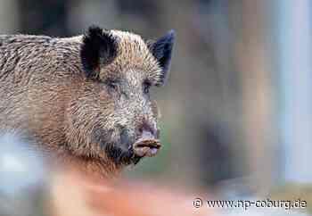 *** Landkreis ist auf die Schweinepest gut vorbereitet
