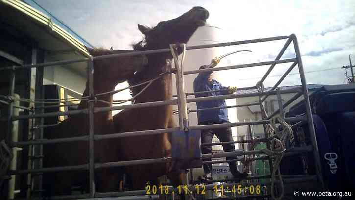 Update: South Korea's Largest Horse Slaughterhouse and Two Employees Fined for Illegal Killing Methods Following PETA Exposé