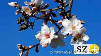 Urlaubsinsel: Mallorca: Mandelblüte beginnt zu früh – Sorge um Bäume