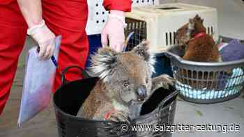 Australien: Feuerinferno in Australien: Wie Koalas und Kängurus leiden