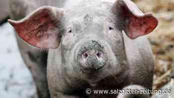 """Förderung für Ferkelerzeuger: """"Tierwohl""""-Fleisch: 30 Millionen Euro für höhere Standards"""