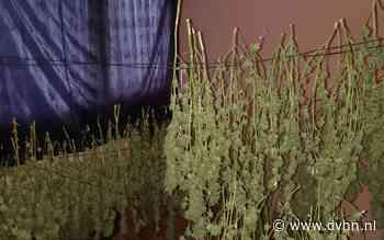 Politie ontdekt hennepdrogerij met 250 planten in woning Emmen
