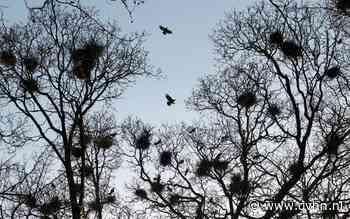 Groningers jagen rumoerige roeken zelf uit de buurt