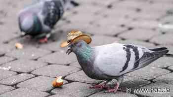 Mini-Cowboyhut auf den Kopf geklebt: Taube in Las Vegas gestorben