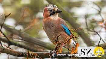 Nabu-Zählung: Milder Winter steigert Vogelbestand in Salzgitter