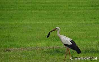 Opinie: Verontwaardiging in Dwingeloo over kapvergunning eik waarin ooievaarspaar al 4 jaar broedt