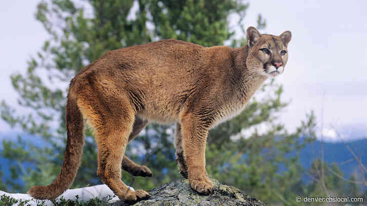 Mountain Lion Hunting Will Be Allowed In New Area Near Aspen