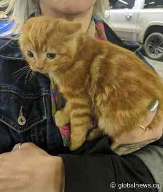 Cat discovered in truck at Calgary dealership after travelling over 200 km