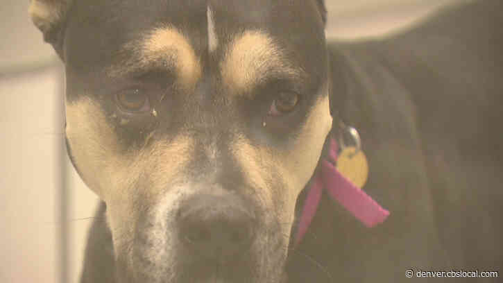Pit Bull Ban Reversal Concerns Family That Underwent Tragedy