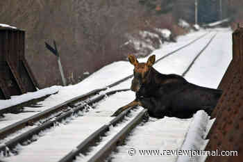 Moose rescued, relocated after being stuck on railroad bridge