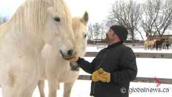 Montreal's calèche horses retire