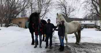 Rescue farm in Vaudreuil gives former calèche horses new life