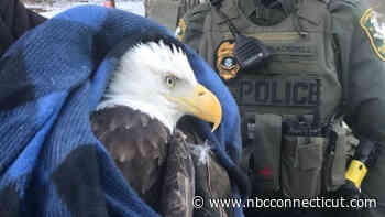 Eagle Slams into Semi Truck