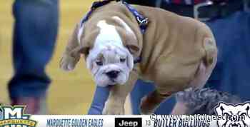 Butler introducing its adorable new mascot Simba-style is why college sports remain the best