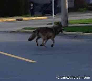 Wolf sighted in James Bay, Victoria police warn residents