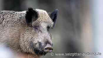 Wildschwein läuft über A36 bei Stöckheim – zwei Verletzte