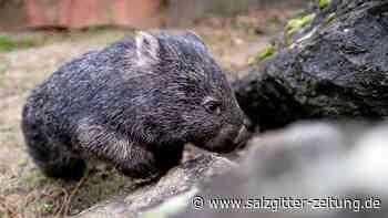 Wombat-Weibchen Maya neu im Zoo Hannover – bald Nachwuchs?