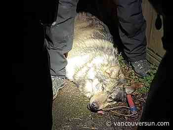 Wolf safely captured after wandering through Victoria near B.C. legislature