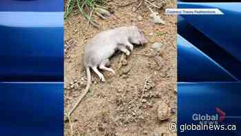 Pierrefonds resident deals with rats