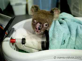 Watch a Koala Recover After Being Injured in the Australian Bushfires