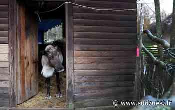 A la ferme exotique de Cadaujac, le renne Rodolphe fêtera Noël… à partir de jeudi - Sud Ouest