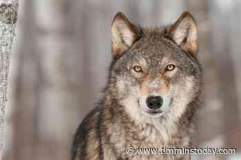 Advisory issued after wolf sightings in South Porcupine, Kettle Lakes areas - TimminsToday
