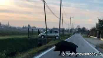 Grosso cinghiale avvistato nelle campagne di Mogliano Veneto e Mestre - TrevisoToday