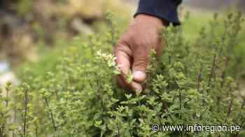 Arequipa: Exportan orégano de Lluta a Europa - INFOREGION