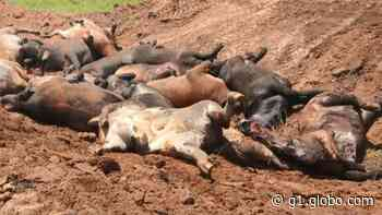 Dezesseis bois morrem eletrocutados por raio em Ecoporanga, ES - G1