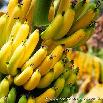 Banana: Chuvas retornam à região de Bom Jesus da Lapa - Notícias Agrícolas