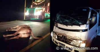 Sucesos 2019-11-19 Camión impacta con un semoviente sobre carretera en Jujutla - Solo Noticias El Salvador