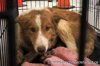 35 dogs and puppies seized from Wolfville home - TheChronicleHerald.ca